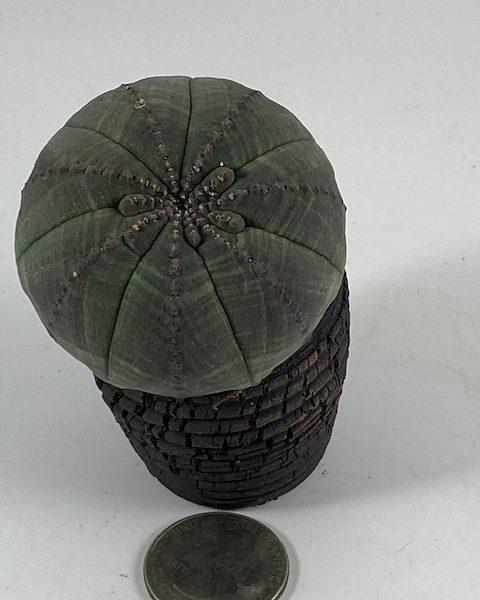 Euphorbia Obesa (Gene)