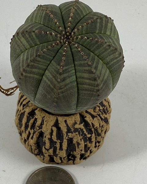 Euphorbia Obesa (Jasper)