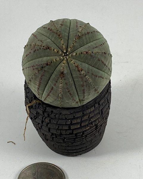 Euphorbia Obesa (Lee)
