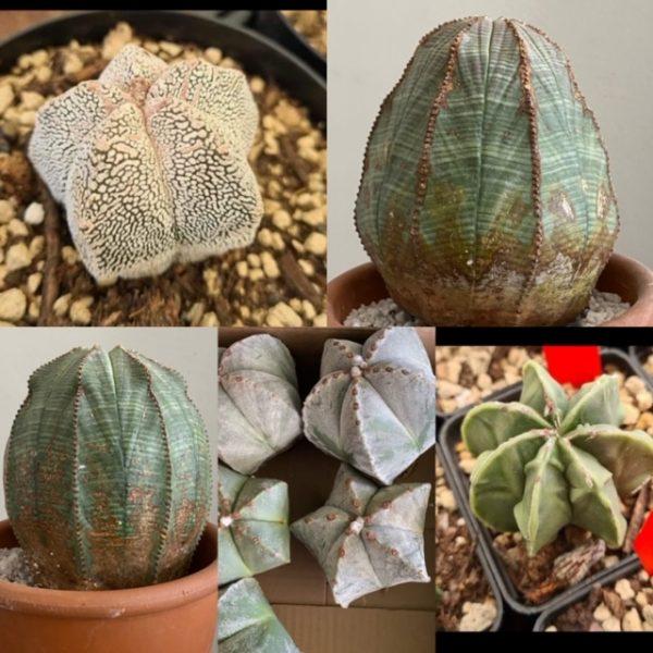 The AstroBesa Club (Astrophytum AND Obesa)