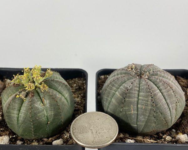 2 Euphorbia Obesas (Male/Female) [David / Victoria]