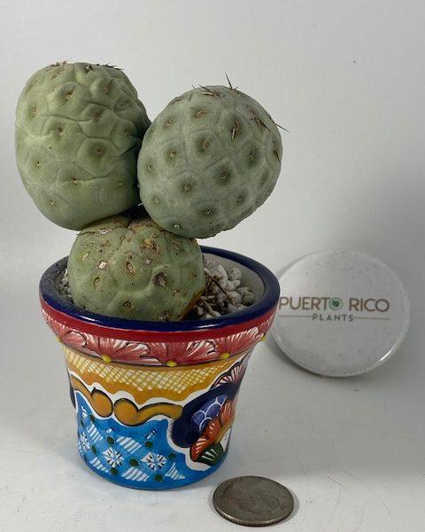 Tephrocactus Geometricus (3 balls) [A]