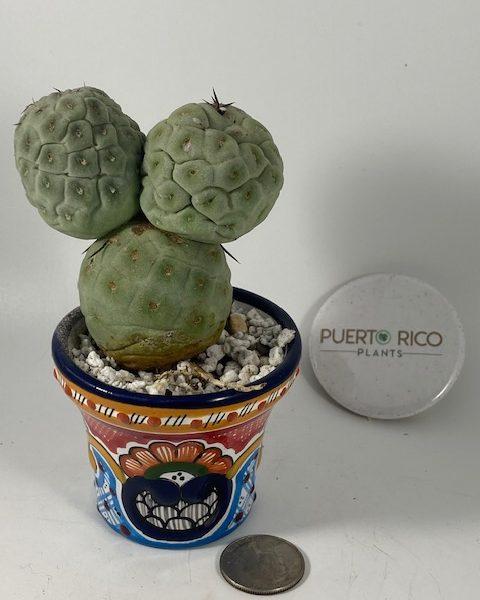 Tephrocactus Geometricus (3 Balls) [C]
