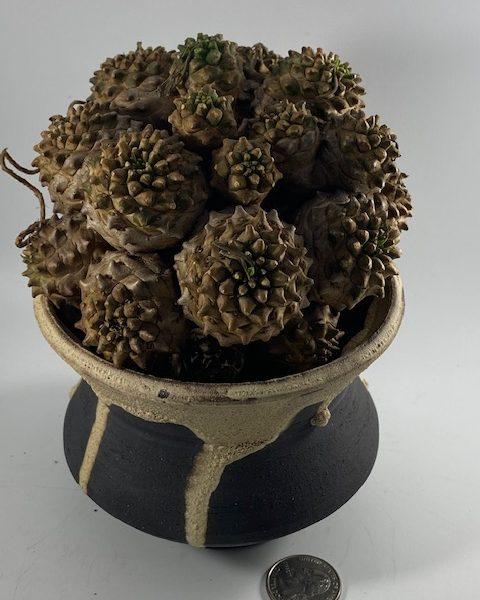 Euphorbia Japonica (Gabriel)