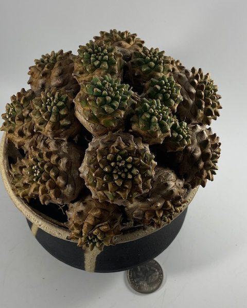 Euphorbia Japonica (Ed)