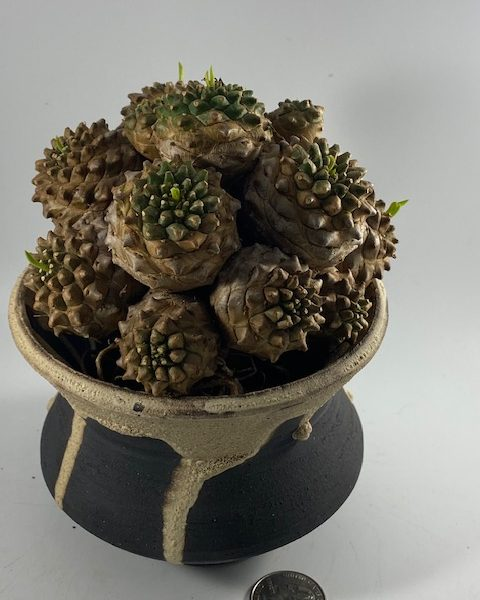 Euphorbia Japonica (Ming)