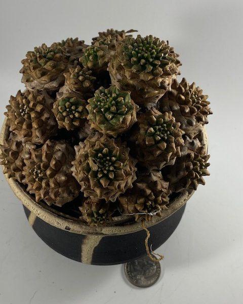 Euphorbia Japonica (Jason)