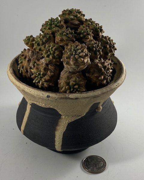 Euphorbia Japonica (Theresa)