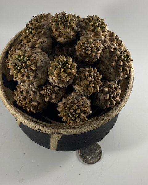 Euphorbia Japonica (David)