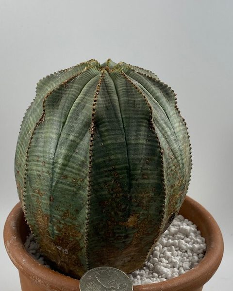 Euphorbia Obesa  4.5 inch tall (Notorious BIG)