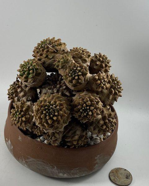 Euphorbia Japonica (Sergio)