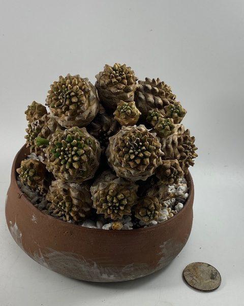 Euphorbia Japonica (Ivan)