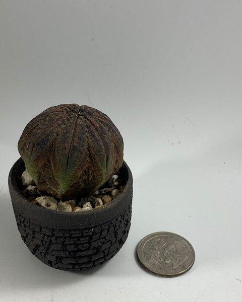 Black Euphorbia Obesa in Black Handmade pot