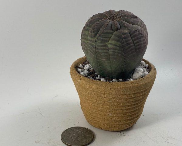 Euphorbia Obesa in handmade condo (A4)