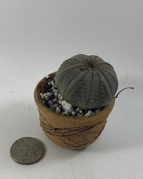 Euphorbia Obesa in handmade condo (B1)