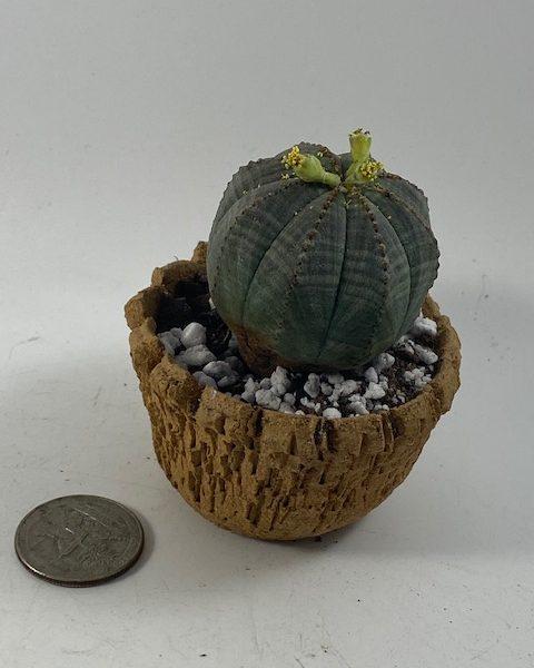 Male Euphorbia Obesa in handmade condo (B4)