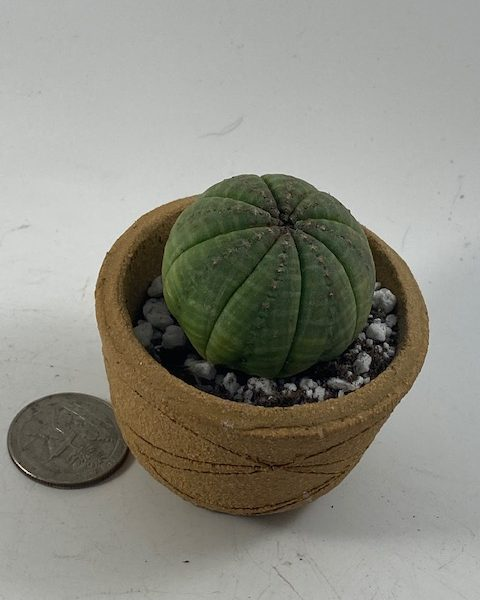 Euphorbia Obesa in handmade condo (C1)