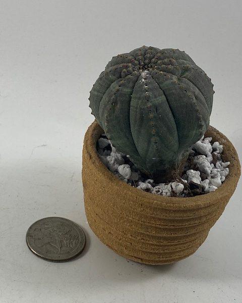 Euphorbia Obesa in handmade condo (D1)