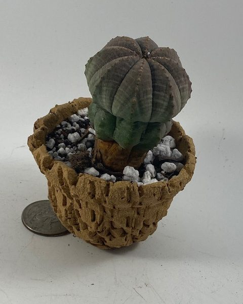 Euphorbia Obesa in handmade condo (D2)