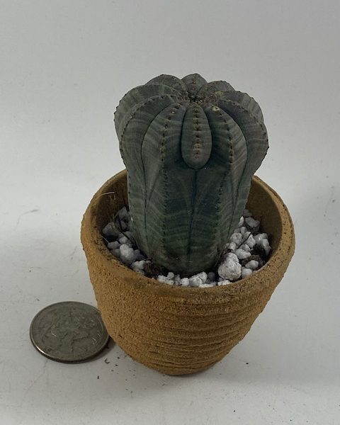 Euphorbia Obesa in handmade condo (D3)