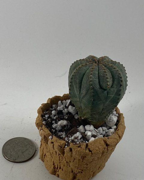 Euphorbia Obesa in handmade condo (E1)