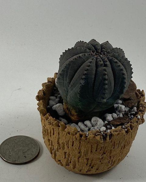 Euphorbia Obesa in handmade condo (E2)