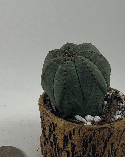 Euphorbia Obesa in handmade condo (E4)