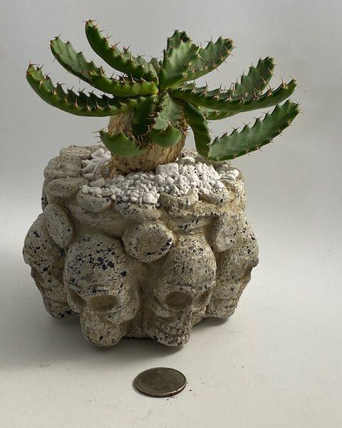 Euphorbia Stellata in handmade Mexican skull pottery