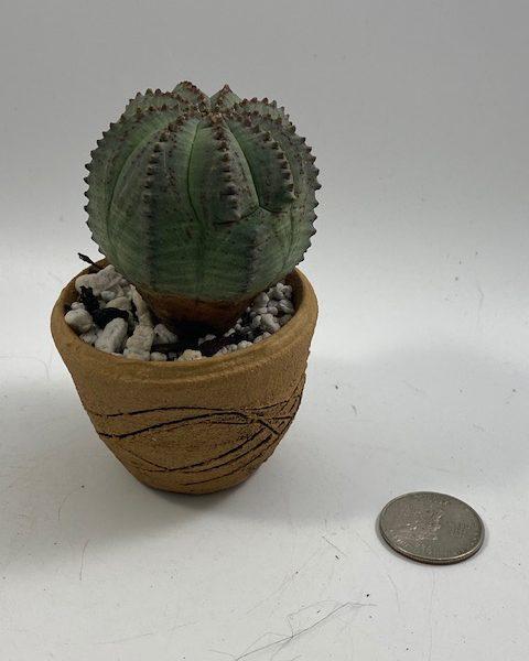 Euphorbia Obesa in handmade condo (F1)