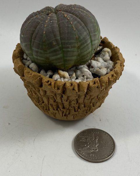 Euphorbia Obesa in handmade condo (F2)