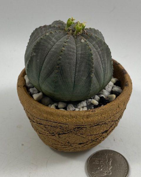 Male Euphorbia Obesa in handmade condo (F3)