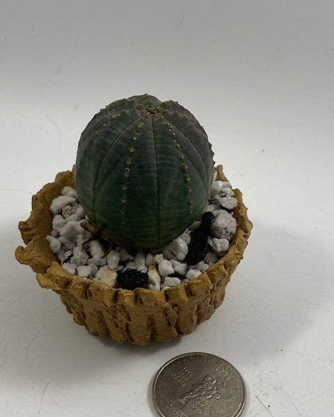 Euphorbia Obesa in handmade condo (G4)