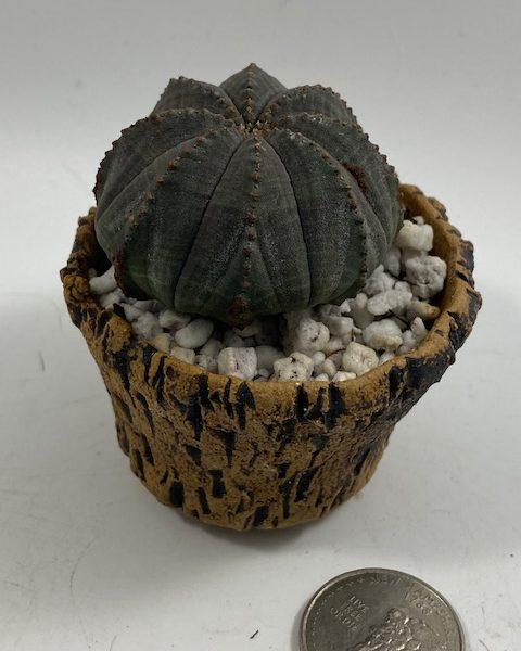Euphorbia Obesa in handmade condo (H4)