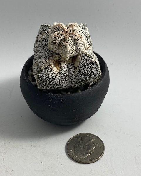 Astrophytum Myriostigma onzuka Monstrose + handmade pot