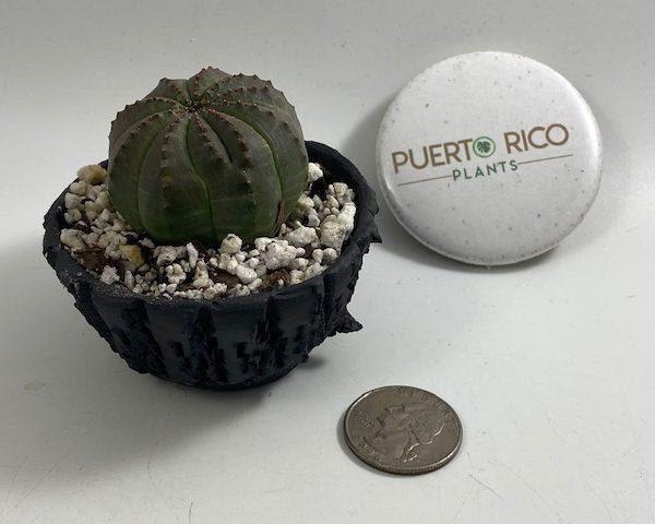 Euphorbia Obesa in handmade condo (A1)