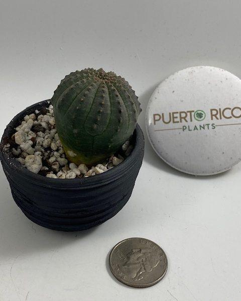 12 ribbed, Euphorbia Obesa in handmade condo (A2)