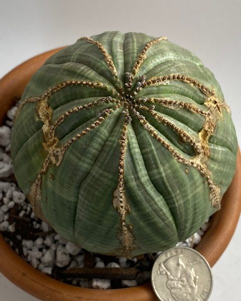 Euphorbia Obesa (DragonFly design) large