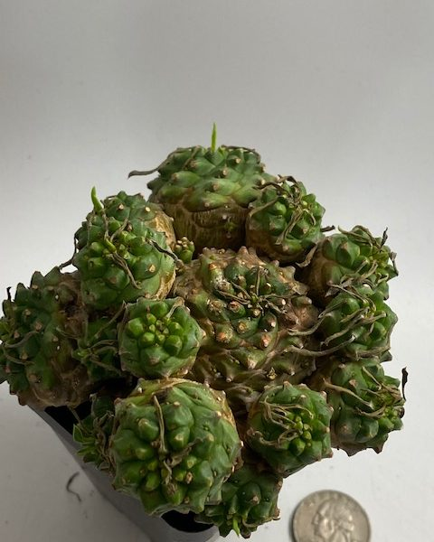 Euphorbia Japonica (C) DMX