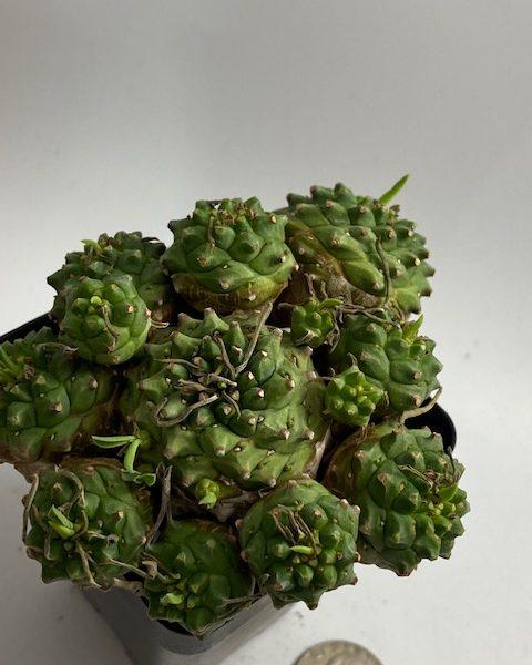 Euphorbia Japonica (D) Beyonce