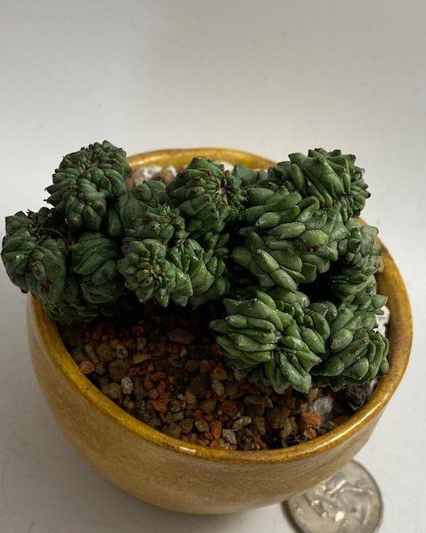 Euphorbia Crested Green Elf