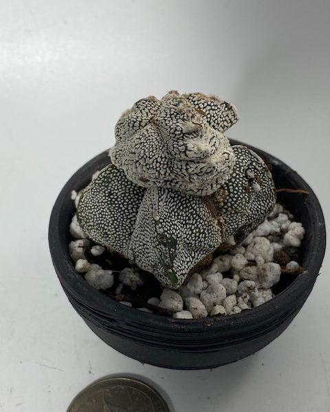 Astrophytum Myriostigma Monstrose Onzuka
