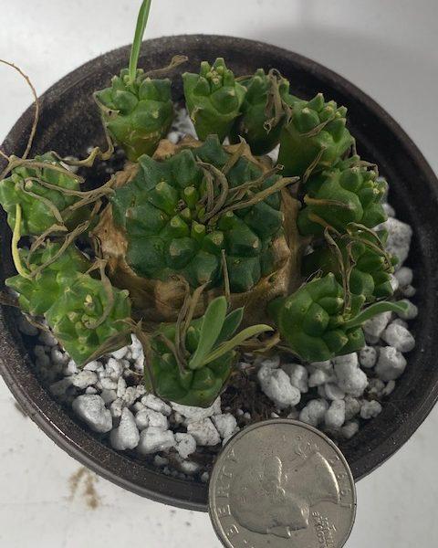 Euphorbia Japonica (A)