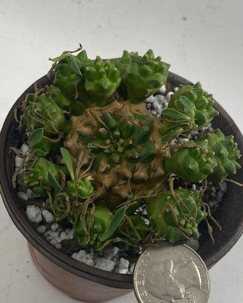 Euphorbia Japonica (B)