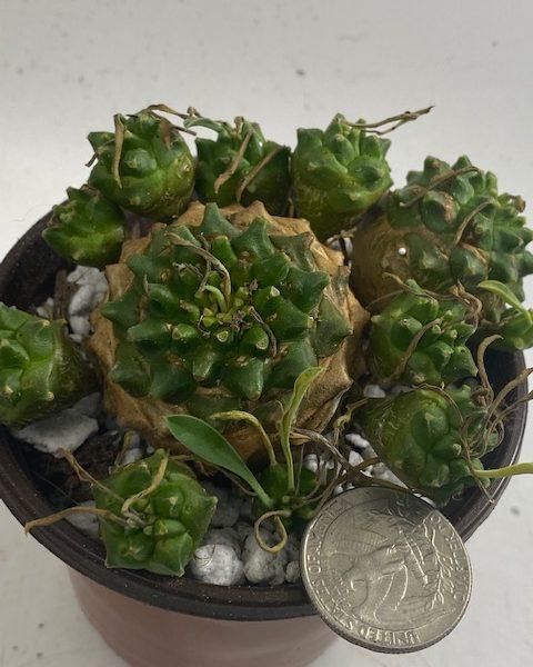 Euphorbia Japonica (C)