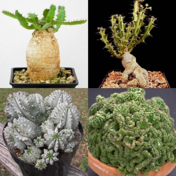 The Euphorbia Club (3-Month)