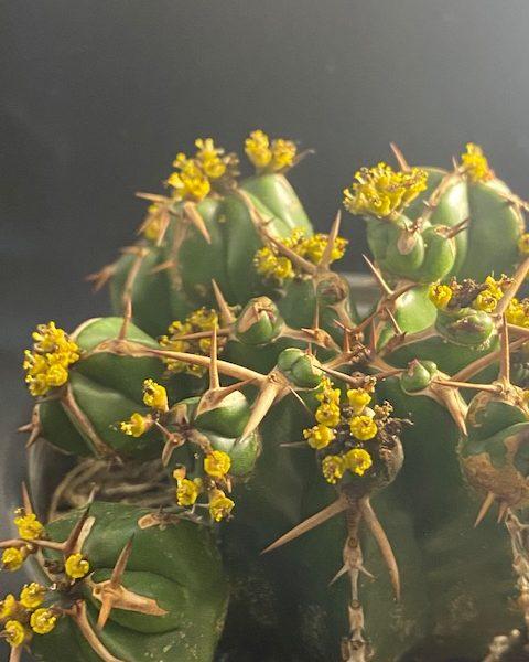 Male Euphorbia Handiensis