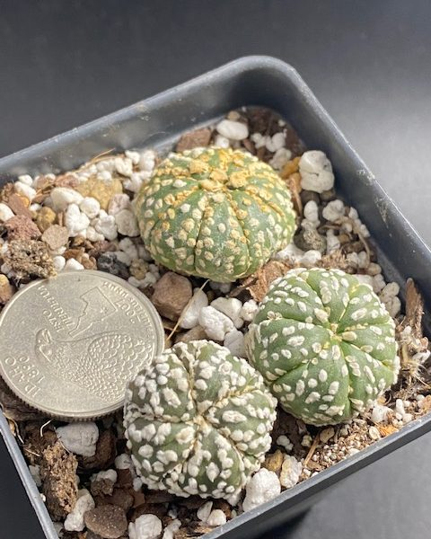 Astrophytum Asterias (set of 3)