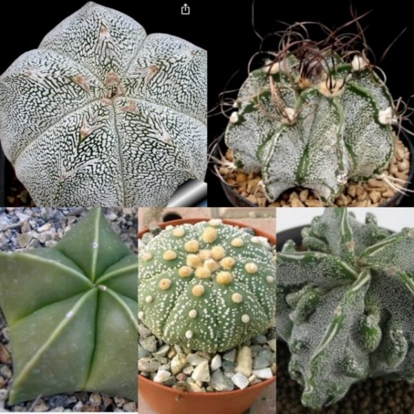 The Small Astrophytum Club (5 month)