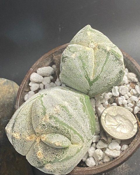 Astrophytum Tricostatum (double heads) (with extra unique rib)