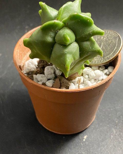 Astrophytum Myriostigma Kikko